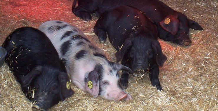 Cerdos dormidos en su granja