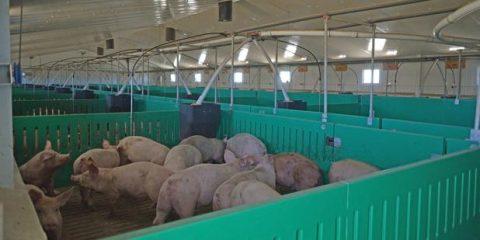 Porcino de Segovia en vanguardia